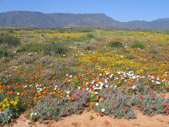 Desert En Fleur Afrique Du Sud